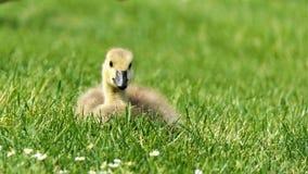 Oie de l'oie cendrée X Canada de Gosling image stock