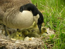 Oie de mère Images libres de droits