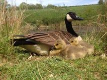 Oie de mère avec des poussins d'oison Photographie stock