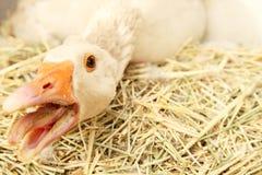 Oie de mère protectrice Images stock