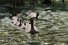 Oie de maman avec la famille d'enfants Photos stock