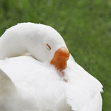 Oie de neige de sommeil Photo libre de droits