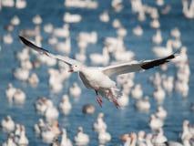 Oie de neige de vol Image libre de droits
