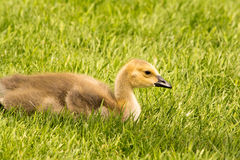 Oie de repos Gosling de Canada Images stock