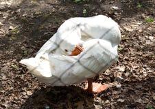 Oie de toilettage Kholmogory Photo libre de droits