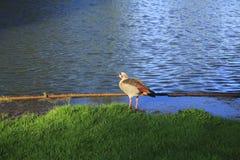 Oie de zéro, oie au rivage de lac à la lumière du soleil Photos stock