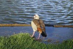 Oie de zéro, oie au rivage de lac à la lumière du soleil Photographie stock libre de droits