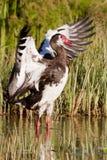 oie Dent-à ailes photo libre de droits