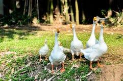 Oie domestique blanche Images libres de droits