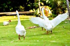 Oie domestique blanche Photo stock