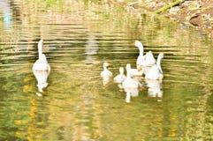 Oie domestique blanche Photographie stock libre de droits