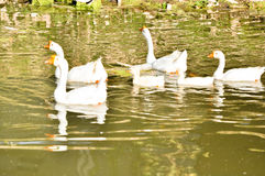 Oie domestique blanche Photo libre de droits