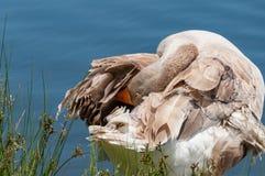 Oie domestique grise nettoyant ses plumes, se toilettant images libres de droits