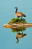 Oie du Canada Photographie stock libre de droits