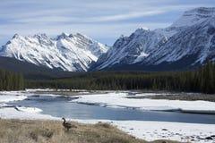 Oie du Canada. Photographie stock libre de droits