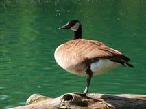 Oie du Canada (canadensis de Branta) Photos libres de droits