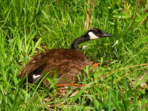 Oie du Canada (canadensis de Branta) Photo libre de droits