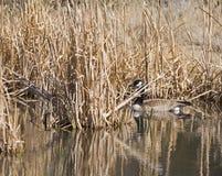 Oie du Canada dans les cattails Images stock