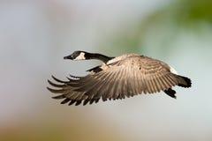 Oie du Canada en vol Image libre de droits