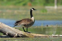 Oie du Canada - Ontario, Canada Photo libre de droits