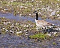 Oie du Canada sur le côté de fleuve Photographie stock libre de droits