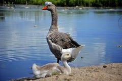 Oie et mère arrières de bébé de gris Photographie stock libre de droits