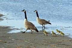 Oie et oisons de Canada Image libre de droits