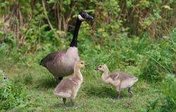 Oie et oisons de Canada Images libres de droits