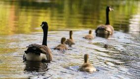 Oie et oisons de Canada Photo libre de droits
