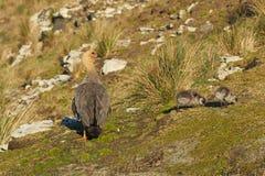 Oie et oisons femelles de montagne Photographie stock libre de droits