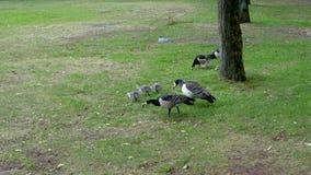 Oie et poussins canadiens Peck Green Grass And Bugs sur la terre en parc banque de vidéos