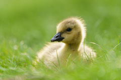 Oie Gosling du Canada Photos libres de droits