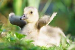 Oie Gosling du Canada Photographie stock libre de droits