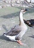 Oie grise Photo libre de droits