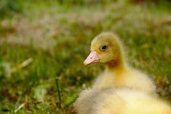 Oie jaune sur l'herbe Photographie stock libre de droits