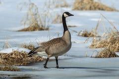 Oie marchant sur l'étang partiellement congelé Photos libres de droits