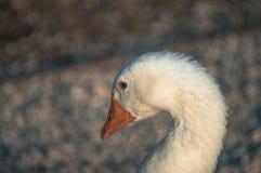 Oie marchant sur la pelouse photos stock