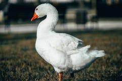 Oie marchant sur la pelouse images libres de droits