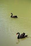 Oie noire Image stock