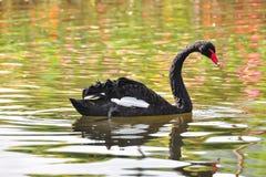 Oie noire Photo libre de droits