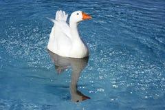 Oie sauvage dans un étang Photo stock