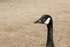 Oie sauvage noire Photo stock