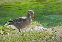 Oie sauvage près d'un fleuve Photographie stock libre de droits