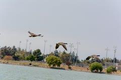 Oie sauvage volante pendant l'été Image libre de droits