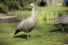 Oie stérile de cap sur l'herbe au soleil Photos libres de droits