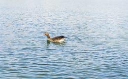 Oie sur un lac image stock