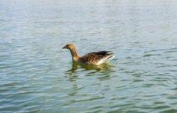 Oie sur un lac photos stock