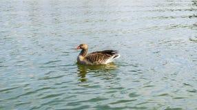 Oie sur un lac image libre de droits
