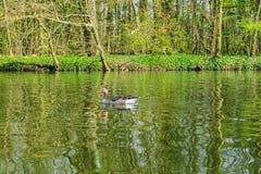 Oie sur un lac photo libre de droits