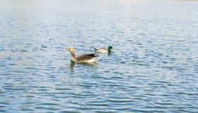Oie sur un lac images libres de droits